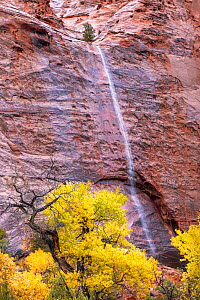 Waterfall over sandstone with cottonwood tree, Long Canyon , Burr Trail, Grand Staircase-Escalante National Monument, Utah, USA. October. - Jack Dykinga