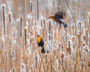 Yellow-headed blackbirds (Xanthocephalus xanthocephalus) roosting in cattails Whitewater Draw Wildlife Area, Arizona, USA, December. - Jack Dykinga