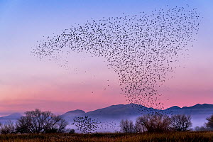 Murmuration of Yellow-headed blackbirds (Xanthocephalus xanthocephalus) and Redwing blackbirds (Agelaius phoeniceus) at sunset, before roosting. Whitewater Draw Wildlife Area, Arizona, USA, December. - Jack Dykinga