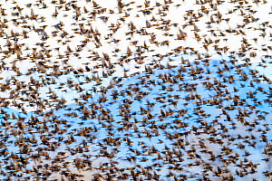 Murmuration of Yellow-headed blackbirds (Xanthocephalus xanthocephalus) and Redwing blackbirds (Agelaius phoeniceus) before roosting. Whitewater Draw Wildlife Area, Arizona, USA, December. - Jack Dykinga