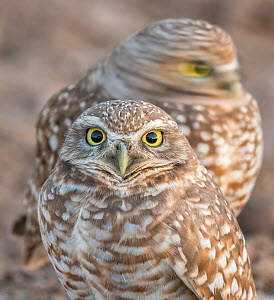 Burrowing owls (Athene cunicularia) one moving its head - with blurred motion. Marana, Arizona, USA, November.  -  Jack Dykinga