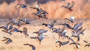 Flocks of Mallard ducks (Anas platyrhynchos) taking off in tree-lined wetlands. Bosque del Apache National Wildlife Refuge, New Mexico, USA. - Jack Dykinga