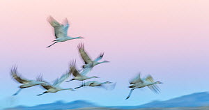 Sandhill cranes (Antigone canadensis) in flight in late evening light, Bosque Del Apache, New Mexico, USA. December  -  Jack Dykinga