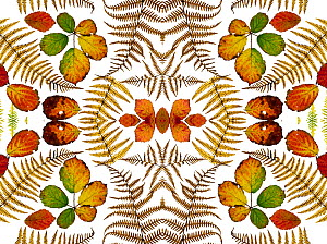 Kaleidoscopic image of Bramble leaves (Rubus fruticosus) and bracken fronds changing colour in autumn on white background  -  Ernie  Janes