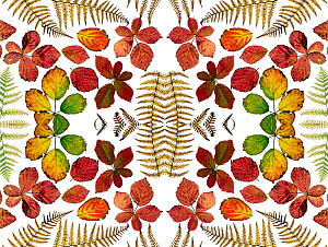 Kaleidoscopic image of Bramble leaves (Rubus fruticosus) and bracken fronds changing colour in autumn.  -  Ernie  Janes