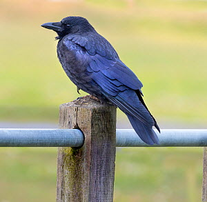 Carrion Crow (Corvus corone) on a fence post, UK. - Ernie  Janes