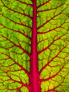 Close up of a Swiss chard (Beta vulgaris) leaf.  -  Ernie  Janes