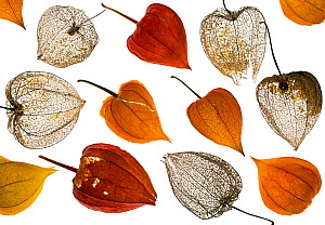 Chinese Lanterns (Physalis alkekengi), old and new from a garden, arranged on a white background.  -  Ernie  Janes