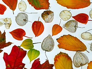 Autumn leaves, Honesty seeds and Chinese lanterns (Physalis alkekengi) from a garden, arranged on a white background.  -  Ernie  Janes