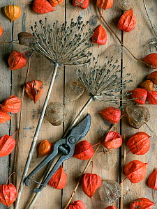 Arrangement of Chinese Lanterns (Physalis alkekengi) and Allium seedheads from garden with secateurs.  -  Ernie  Janes