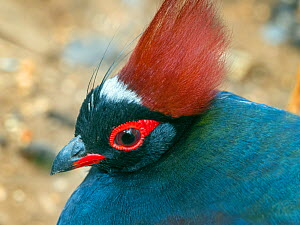Crested or Red-crowned wood partridge (Rollulus rouloul) male. Captive.  -  Ernie  Janes