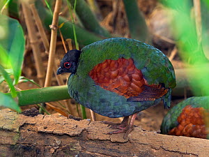 Crested or Red-crowned wood partridge (Rollulus rouloul) female. Captive.  -  Ernie  Janes