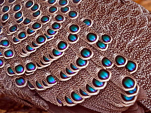 Feathers of a Grey peacock-pheasant (Polyplectron bicalcaratum). Captive.  -  Ernie  Janes