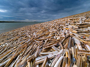 Mass of empty Razor clam (Ensis siliqua) shells washed up on beach at low tide, Titchwell beach, Norfolk, UK. October.  -  Ernie  Janes