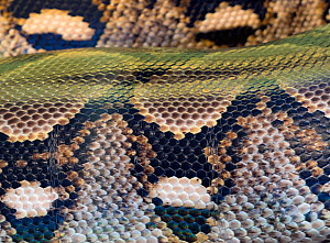 Close up of Reticulated python (Python reticulatus) scales. Captive.  -  Ernie  Janes