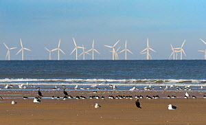 Cormorants, oystercatchers and gulls resting on the beach with wind farm turbines out at sea, Titchwell RSPB Nature Reserve, west Norfolk, UK. October 2018.  -  Ernie  Janes