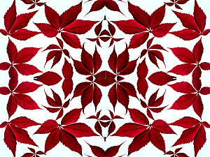 Kaleidoscopic pattern of Virginia creeper (Parthenocissus quinquefolia) in autumn on a white background.  -  Ernie  Janes