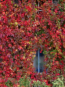 Virginia creeper (Parthenocissus quinquefolia) covering a cottage wall, autumn, Norfolk, UK. September.  -  Ernie  Janes