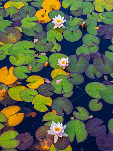 Three White waterlilies amongst lily-pads in garden pond.  -  Ernie  Janes
