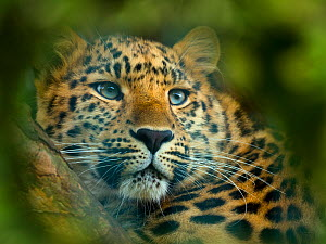 Close up of an Amur leopard (Panthera pardus orientalis) portrait. Captive, with digitally added leaf pattern.  -  Ernie  Janes