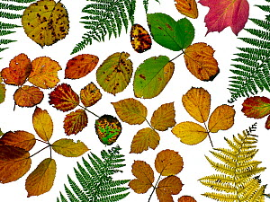 Bramble leaves (Rubus fruticosus) and bracken fronds changing colour in autumn, against a white background  -  Ernie  Janes