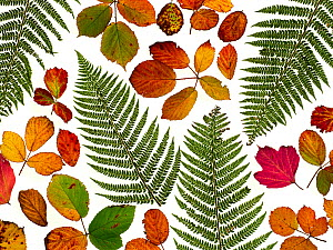 Bramble leaves (Rubus fruticosus) and bracken fronds changing colour in autumn.  -  Ernie  Janes
