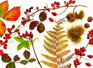 Bramble leaves, bryony, rosehips, chestnuts and bracken fronds changing colour in autumn, against a white background.  -  Ernie  Janes