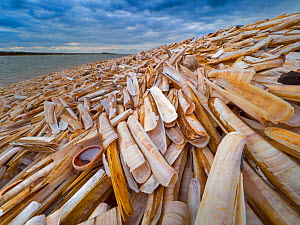 RF - Empty Razor clam shells (Ensis siliqua) washed up on Titchwell Beach, Norfolk, UK. October 2018. (This image may be licensed either as rights managed or royalty free.)  -  Ernie Janes