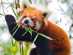RF - Red panda (Ailurus fulgens) eating bamboo leaves. Captive. (This image may be licensed either as rights managed or royalty free.)  -  Ernie Janes