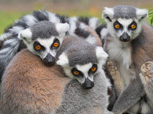 RF - Ring-tailed lemur (Lemur catta) group huddled together. Captive. (This image may be licensed either as rights managed or royalty free.)  -  Ernie Janes