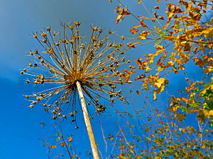 RF - Looking up at Allium seedhead with autumn leaves in background. September. (This image may be licensed either as rights managed or royalty free.)  -  Ernie Janes