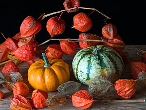 RF - Home-grown pumpkins and Chinese lantern (Physalis alkekengi). (This image may be licensed either as rights managed or royalty free.)  -  Ernie Janes
