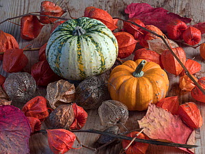 RF - Home-grown pumpkins and Chinese lantern (Physalis alkekengi UK (This image may be licensed either as rights managed or royalty free.)  -  Ernie Janes