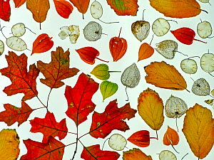 RF - Arrangement of autumn leaves, Honesty seeds and Chinese lantern (Physalis alkekengi) leaves. (This image may be licensed either as rights managed or royalty free.)  -  Ernie Janes