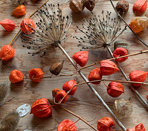 RF - Arrangement of Chinese Lanterns (Physalis alkekengi) and Allium seedheads. (This image may be licensed either as rights managed or royalty free.)  -  Ernie Janes
