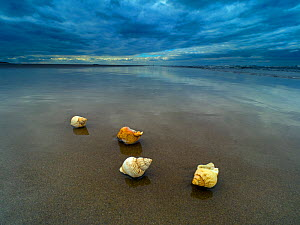 RF - Common whelk (Buccinum undatum) shells washed up on Titchwell Beach under a stormy sky, Norfolk, UK. October 2018. (This image may be licensed either as rights managed or royalty free.)  -  Ernie Janes