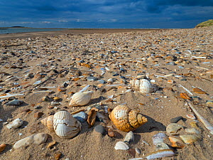 RF - Common whelk (Buccinum undatum) shells washed up on Titchwell Beach, Norfolk, UK. October 2018. (This image may be licensed either as rights managed or royalty free.)  -  Ernie Janes