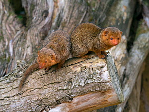 RF - Common dwarf mongoose (Helogale parvula). Captive. (This image may be licensed either as rights managed or royalty free.)  -  Ernie Janes