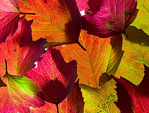 RF - Autumn leaves of Guelder Rose (Viburnum opulus). (This image may be licensed either as rights managed or royalty free.)  -  Ernie Janes