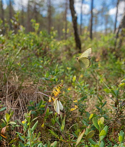 Moorland clouded yellow butterfly (Colias palaeno), male flying and female resting on flower.  -  Jussi Murtosaari