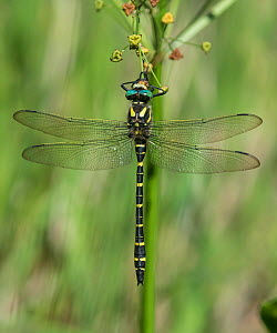 Golden-ringed dragonfly (Cordulegaster boltonii), male rests, Finland, August.  -  Jussi Murtosaari