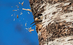 White-backed woodpecker (Dendrocopos leucotos), female excavating nest in birch tree, expelling wood chips from hole, Finland, April.  -  Jussi Murtosaari