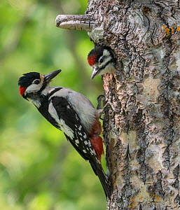 Great spotted woodpecker (Dendrocopos major), male feeding juvenile in nest, Finland, June.  -  Jussi Murtosaari