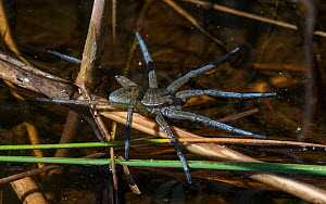 Great raft spider (Dolomedes plantarius), hunting its prey on the surface of water, Finland, May.  -  Jussi Murtosaari