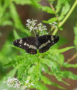White admiral butterfly (Limenitis camilla), newly emerged male, Finland, June.  -  Jussi Murtosaari