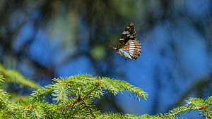 Poplar admiral butterfly (Limenitis populi), female in flight, Finland, June.  -  Jussi Murtosaari