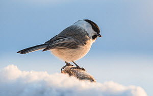 Willow tit (Parus montanus), in snow, Finland, February.  -  Jussi Murtosaari