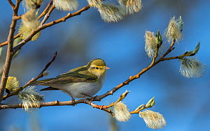 Wood warbler (Phylloscopus sibilatrix) amongst willow catkins, Finland, May.  -  Jussi Murtosaari