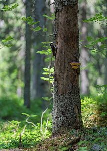 Three-toed woodpecker (Picoides tridactylus), male next to nest hole in tree in forest, Finland, June. - Jussi Murtosaari