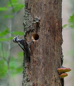 Three-toed woodpecker (Picoides tridactylus), male next to nest hole in tree, Finland, June. - Jussi Murtosaari